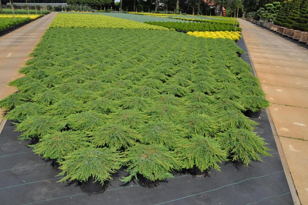 Можжевельник обыкновенный 'Green Carpet'
