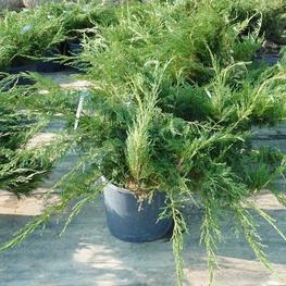 Можжевельник казацкий 'Tamariscifolia'