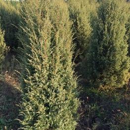 """Можжевельник обыкновенный """"Juniperus communis"""""""