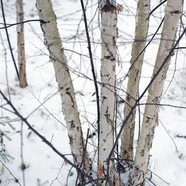 "Береза кустовая ""Betula fruticosa"""