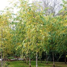 Береза черная 'Betula nigra'