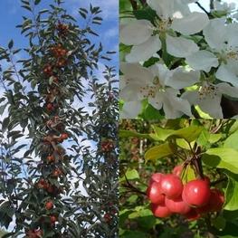Декоративная яблоня 'John Downey'