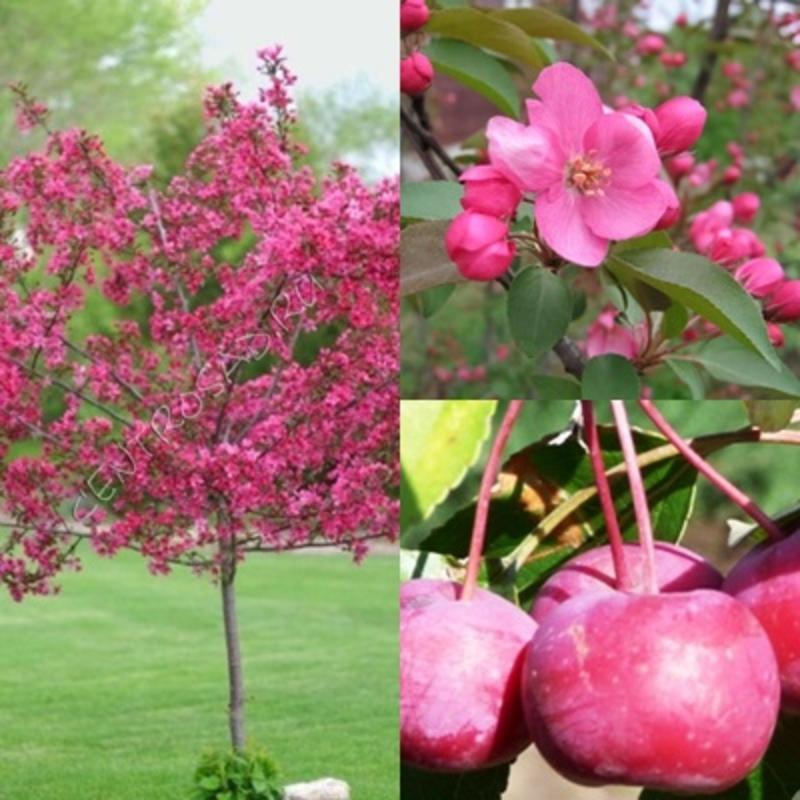Декоративная яблоня 'Ola'