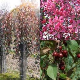Декоративная яблоня 'Royal Beaty'