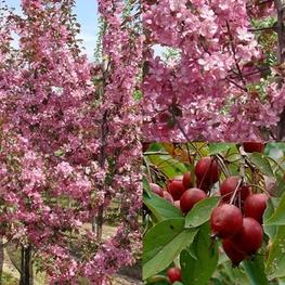 Декоративная яблоня 'Makowieckiana'