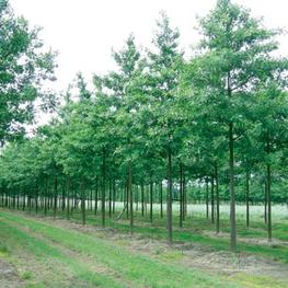Дуб Болотный 'Quercus palustris'