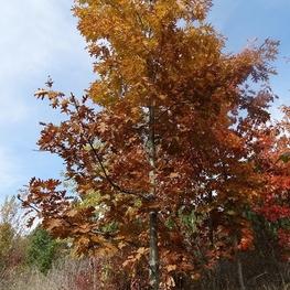 Дуб красный 'Quercus rubra'