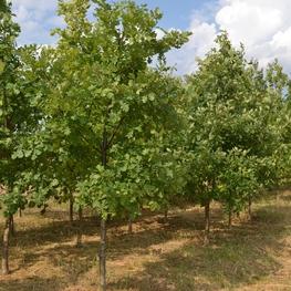 Дуб черешчатый 'Quercus robur'