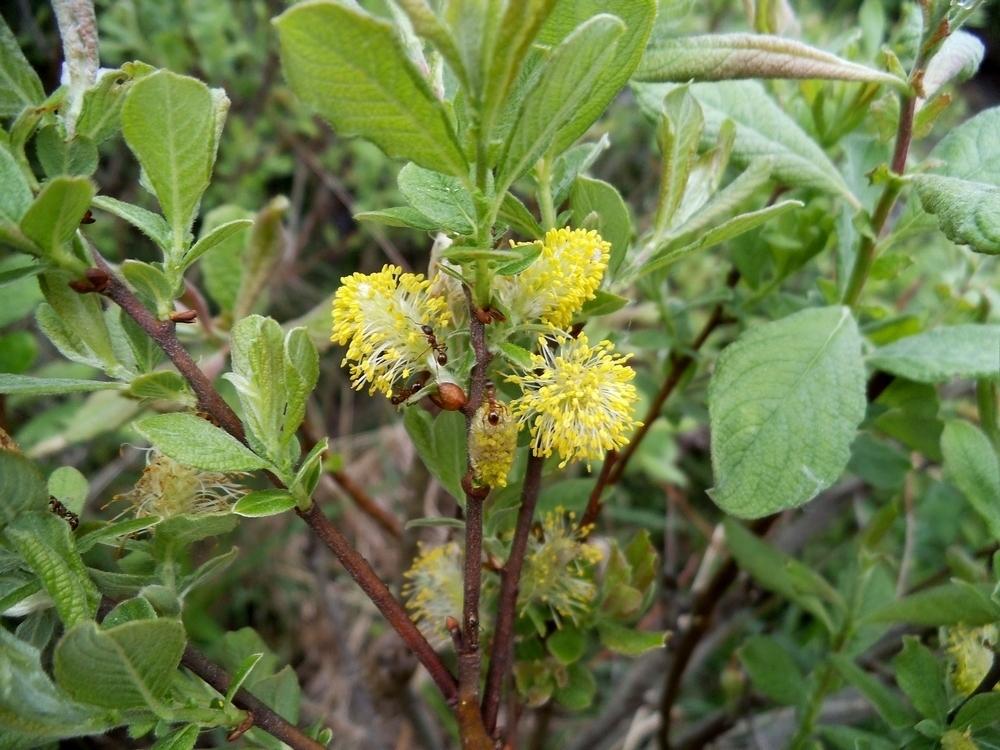 """Ива Ушастая """"Salix aurita"""""""