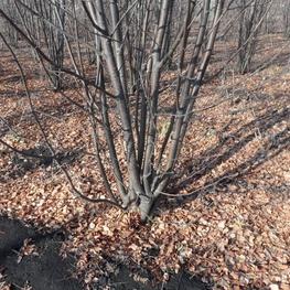Рябина Кустовая 'Sorbus'