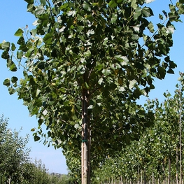 """Тополь бальзамический """"Populus balsamifera"""""""