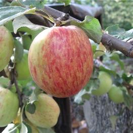Яблоня домашняя Орловское полосатое