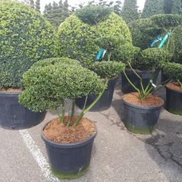 Падуб городчатый 'Green Hedge'