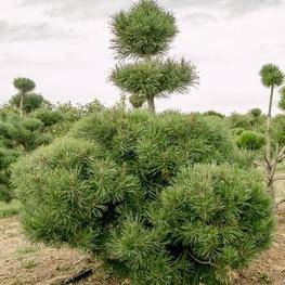 Сосна горная 'Pinus mugo'
