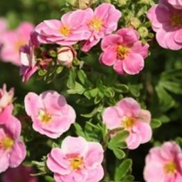 Лапчатка кустарниковая 'Pink Paradis'