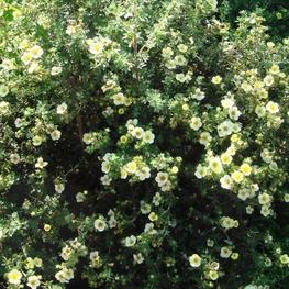 "Лапчатка кустарниковая ""Primrose Beauty"""