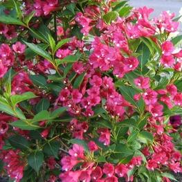 "Вейгела цветущая ""Bristol Ruby"""
