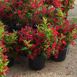 Вейгела цветущая 'Red Prince'