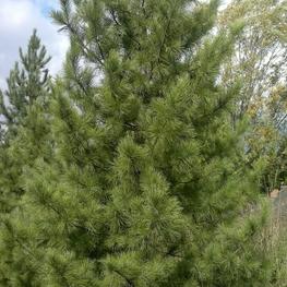 """Кедр сибирский """"Pinus sibirica"""""""