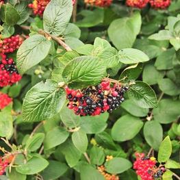 Калина гордовина 'Viburnum lantana '