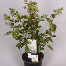 Гортензия Метельчатая 'Grandiflora'